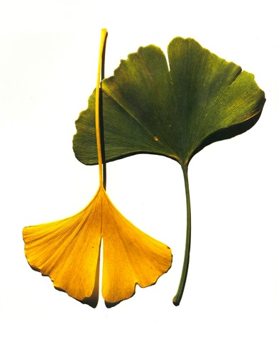 irving-penn-gingko-leaves-(new-york)