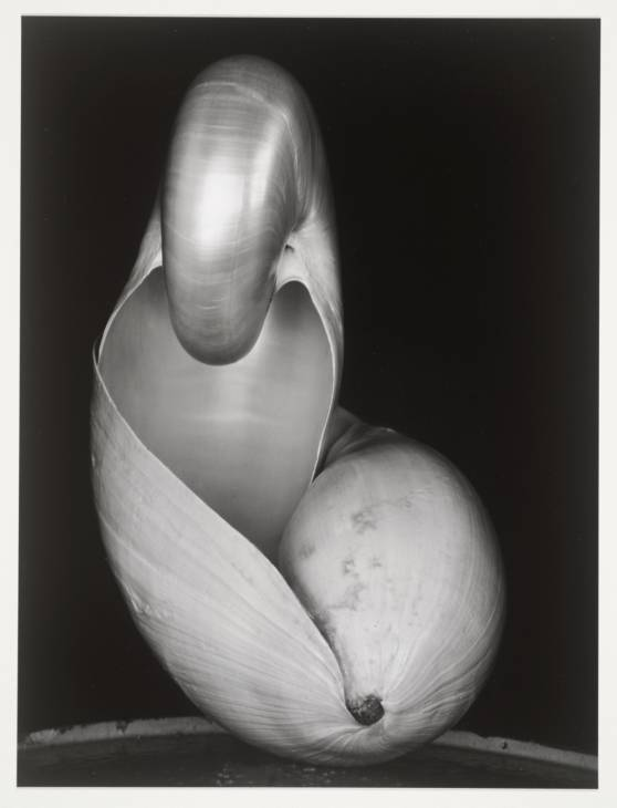 Shells 1927, printed later by Edward Weston 1886-1958